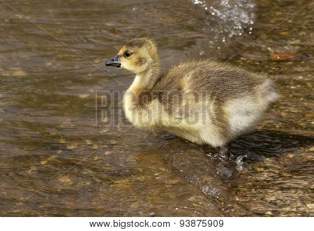 Young Canada Goose.