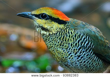 Blue Pitta Bird