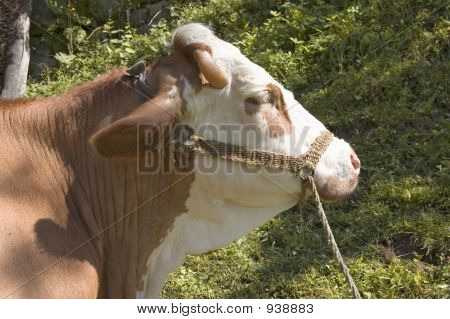 cow in pasture, animal farm life in nature poster