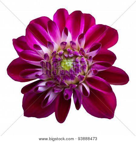 Pink  Chrysanthemum Dahlia Isolated On White