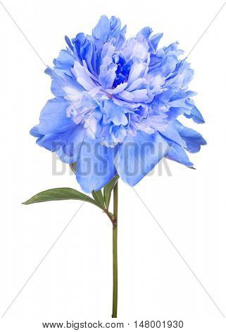 blue peony flower with green leaves isolated on white background