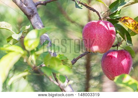 Harvest of ripe red apples on a branch in the garden.