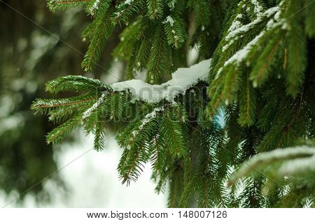 Branches Of Fur Trees Under Snow, Toned