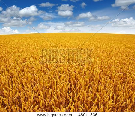 wheat field and sky with white clouds