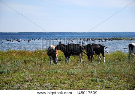 Cattle in a coastal pastureland at the swedish island Oland the island of sun and wind in the Baltic Sea