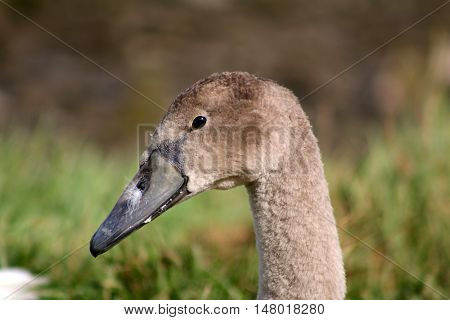 A Mute Swan cygnet with a white feather stuck to it's beak