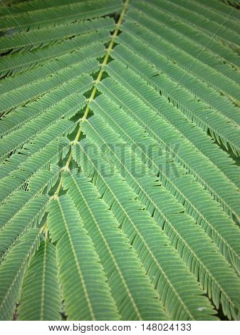 Acacia Pennata leaf in the garden, nature background,