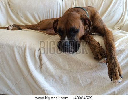brindle boxer dog is sad on the couch