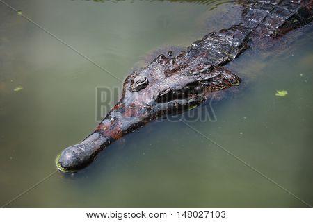 Wildlife photo image of big crocodile swimming in lake gharial Gavialis gangeticus