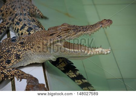 Animal photo image of young crocodiles sunbathing in croc farm crocodylus porosus