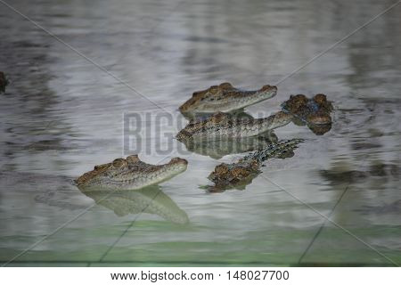 Animal photo image of young crocodiles swimming in croc farms pond crocodylus porosus