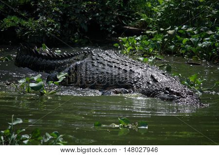 Wildlife photo image of big crocodile swimming in lake crocodylus porosus