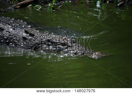 Wildlife photo image of big crocodile swimming in lake crocodylus porosus