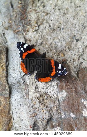 Red admiral butterfly on antique stone wall. Colorful butterfly on gray stone.
