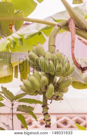 Young raw banana bunch called