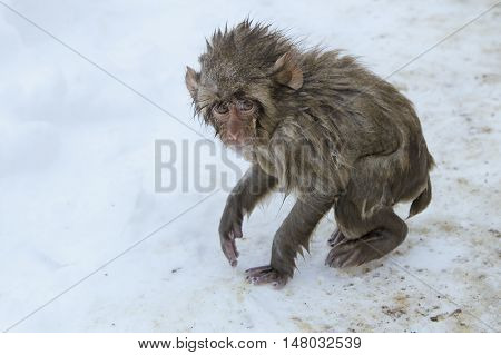 unhappy baby snow monkey got out of the hot springs to the cold