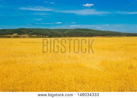 The yellow wheat field and clouds in the sky