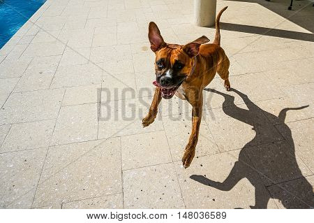 happy boxer dog leaps in the air