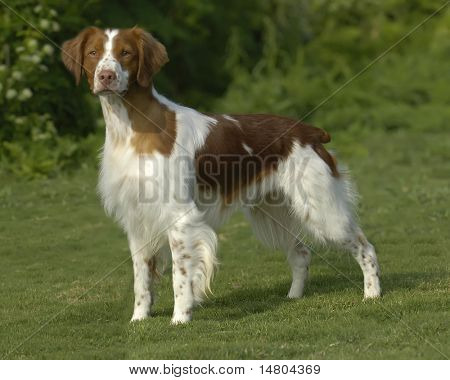 A portrait of a American Brittany dog.