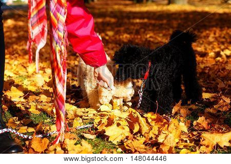 Woman feeds poodle in a beautiful autumn park