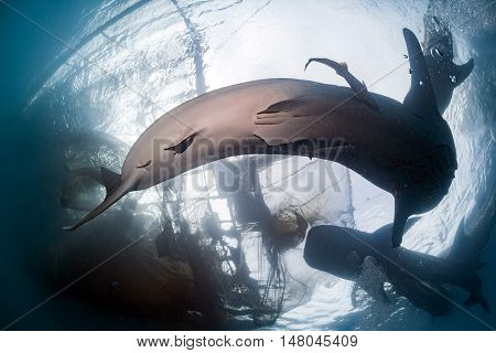 Whale Shark Under Fishermen Platform In Papua