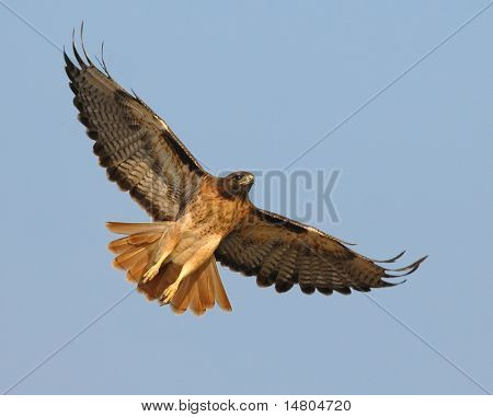 A male Red Tail Hawk begins to soar above a field in Southern California searching for it's next meal. poster