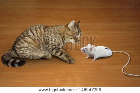 A cat is looking at a computer mouse. It looks like a real mouse.