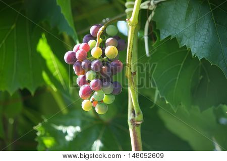 Ripe grapes on a wine growing in the garden