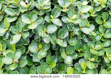 Ficusannulata blume with rain drops close up .