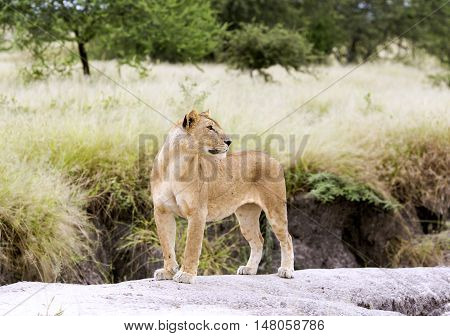Lovely lioness gracefully standing on a rock in a park Tarangire, Tanzania