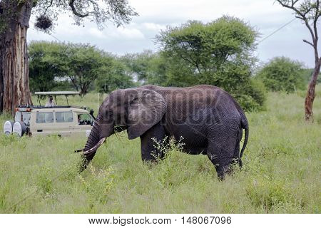 AFRICA, TANZANIA, MAY, 06, 2016 - Visitors on jeep pictures of elephant in Tarangire National Park, Tanzania.