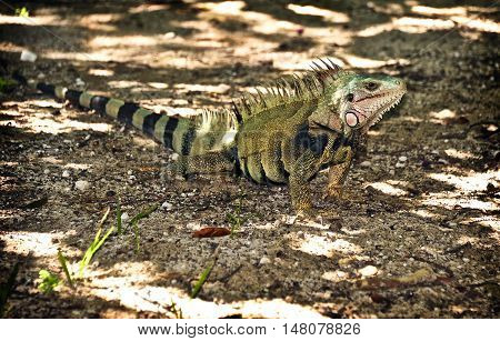 This is a photo of an iguana.
