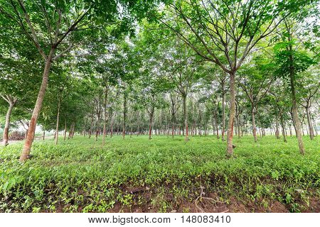 landscape of Rubber Tree Plantation background .