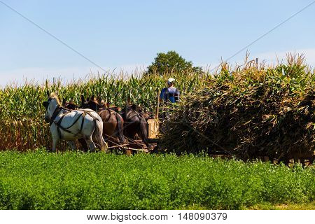 Witmer PA - September 12 2016: Amish farmers pick cut and harvest corn with teams of mules in Lancaster County.