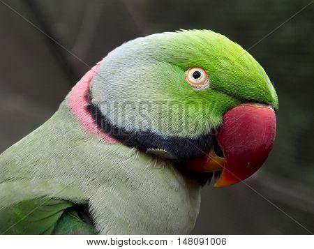 Side-portrait of a green ring-necked parakeet bird