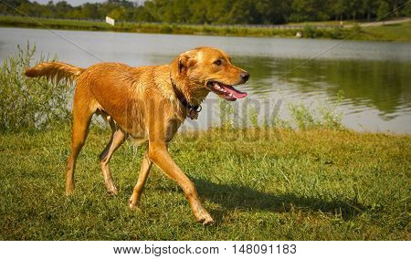 Happy tan mutt walking jauntily along the edge of a pretty pond