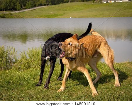 Two sweet silly mutts playing together making ridiculous expressions on grass before a pond