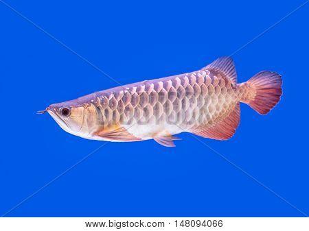 Arowana fish red tail on blue background