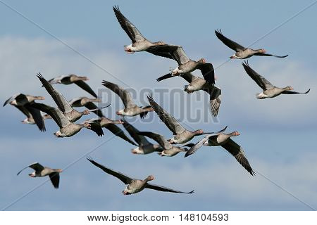 Greylag geese in flight with blue skies in the background