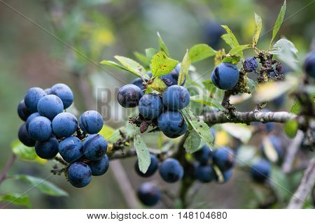Sloe berries on blackthorn (Prunus spinosa). Thorny shrub in the rose family (Rosaceae) with cluster of ripe purple fruit in Autumn