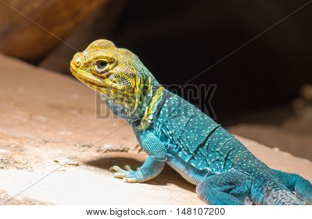 yellow-blue Collared Lizard sitting on a rock