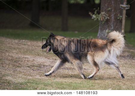 Dog Belgian Shepherd Tervuren running in woods