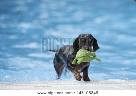 Dog Dachshund fetching toy out of swimming pool blue water