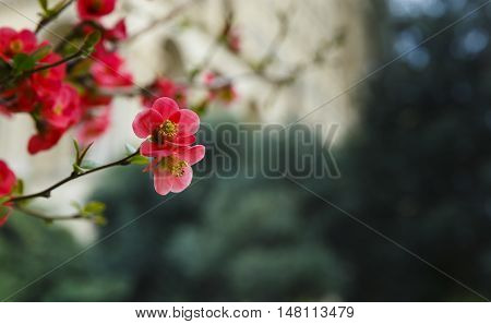 Blooming buds of Japanese quince(chaenomeles) nature background