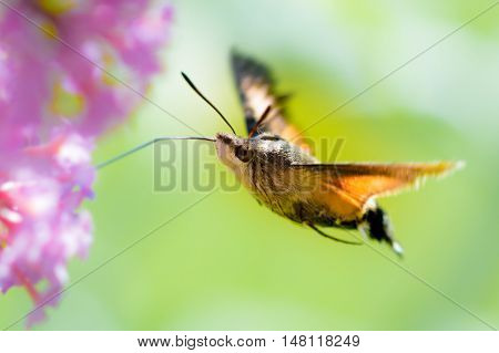 Flying Hummingbird hawk-moth with a pink flower