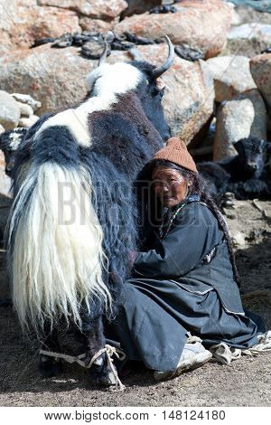 Tibetan Nomad Milking Yak Cow By Hands In Ladakh, India