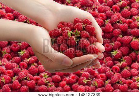 Women's hands with fresh raspberries on background of raspberries. Top view.