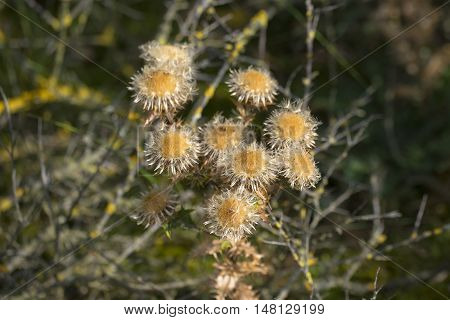 Carline Thistle (Carlina vulgaris) flowering with many flowers in a Dune Valley