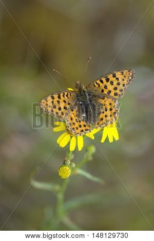 Queen of Spain Fritillary (Issoria lathonia) butterfly resting on Narrow-leaved Ragwort (Senecio inaequidens)