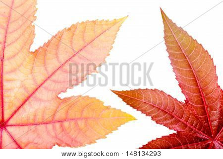 Castorbean leaf. Castor oil plant, Ricinus communis, medical and pharmaceutical plant. Colorful autumn leaves isolated on white.